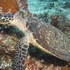 23-turtle- hawksbill