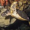 1-turtle hawksbill
