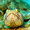sand diver (lizardfish)