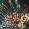 14-lionfish