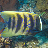08-angelfish  - sixbanded