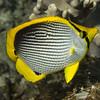 09-butterflyfish - bald back