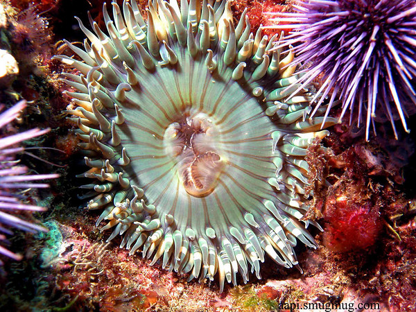 Green Anemone - Channel Islands, CA