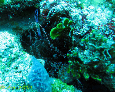 Semi-Transparent blue shrimp