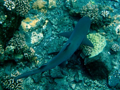 A White Tipped Reef Shark!