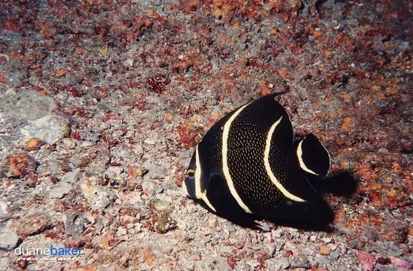 Juvenile French Angelfish, Belize