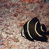 Juvenile French Angelfish, Belize