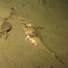 Roughback Sculpin<br /> with mouthful of shrimp