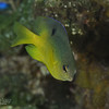 Cocoa Damselfish - Intermediate
