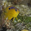 Longfin Damselfish - Juvenile