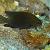 Longfin Damselfish
