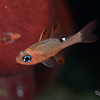 Whitestar Cardinalfish