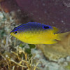 Cocoa Damselfish - Juvenile
