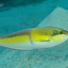 Yellowhead Wrasse - Terminal Phase