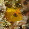 Roughhead Blenny
