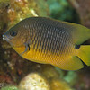 Threespot Damselfish