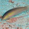 Yellowhead Wrasse - Initial Phase