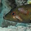 Coney w/Cymothoid Isopods