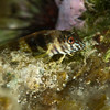 Goldline Blenny - In less than 3' of water (glad it was calm)