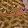 Whitestar Cardinalfish