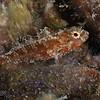 Redband Parrotfish - Juvenile