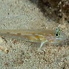 Pallid Goby