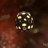 Smooth Trunkfish - Juvenile