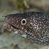 Spotted Moray w/Sharknose Gobies - Cleaning Station