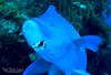 Blue Parrotfish - Terminal Phase