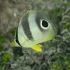 Foureye Butterflyfish - Juvenile