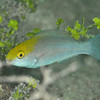 Blue Parrotfish - Initial Phase