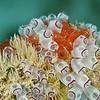 Bulb Tunicates