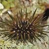 Reef Urchin