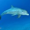 "Bottlenose Dolphin - ""Calypso"""