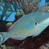 Redtail Parrotfish