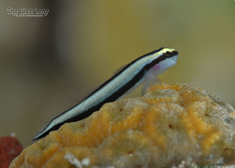 Cleaning Goby