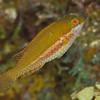 Bucktooth Parrotfish