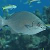 Bermuda/Gray Chub