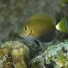 Ocean Surgeonfish - Juvenile