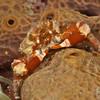 Banded Clinging Crab