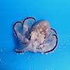 Brownstripe Octopus