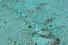 Patch-Reef Goby