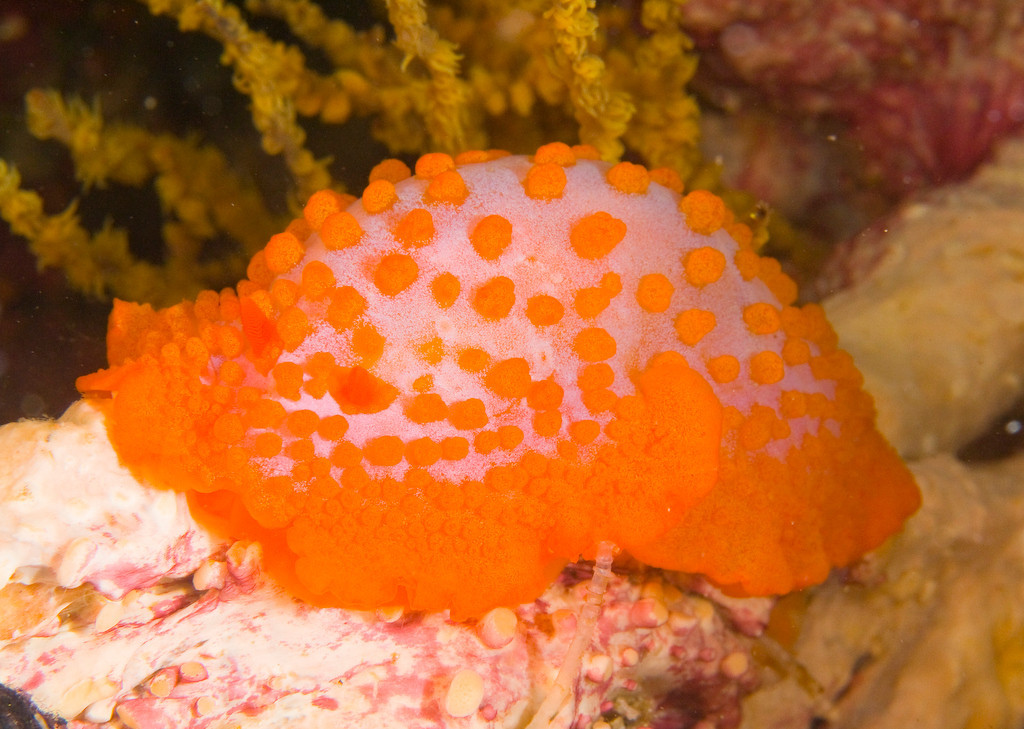 Paradoris (Identified by Terry Gosliner and communicated to me by Kevin Lee)  Photographed in the Galapagos Islands at Cousins Rock near Santiago Island at 52 ft on a wall.  I turned over the white sponge hanging from coral whips to see this brightly colored Dorid.  The location is a little distance from Santa Cruz Island.