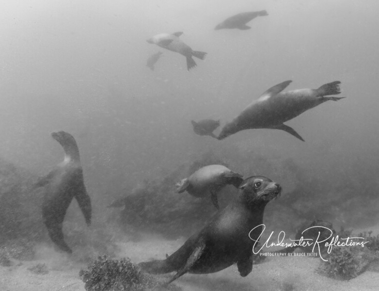 Some of the sea lion photos in this gallery are in color, and some in black & white...based solely on which I liked better one way or the other!  One thing you'll notice is that the water was quite murky, so there is lots of backscatter (particles illuminated by my strobes).  Note how murky the fellow on the left (doing the mambo?) is.