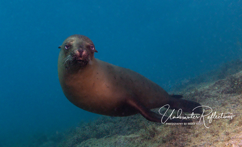 Looking sleepy, a young sea lion pup stops to wonder what I am...