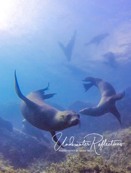 Underwater ballet!  When one sea lion dove down from the surface to see us, it was usually followed by others.