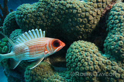 A Squirrelfish that has run out of holes to hide in.