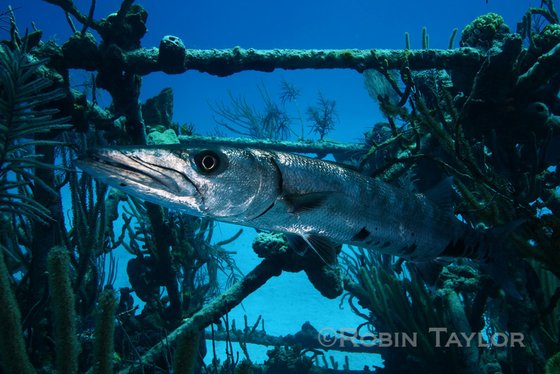This Barracuda was completely fearless, not even inching away when I approached.