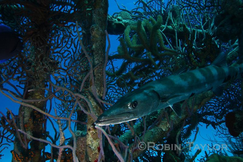 The Barracuda did try to camouflage itself by changing colour patterns.