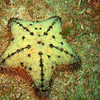 CUSHION STARFISH. NOTICE THE THOUSANDS OF BABIES ON IT'S BODY.